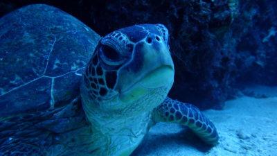海底のウミガメ