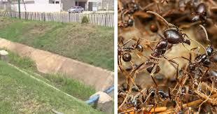 メキシコ蟻と遺棄場所