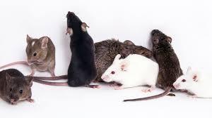 ネズミ社会