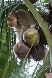 ココナツ収穫のサル