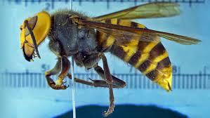 殺人スズメバチ