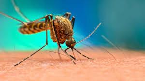 遺伝子組み換え蚊