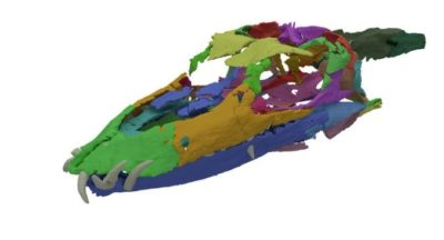 タニストロフェウス( Tanystropheus)の頭蓋