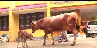 2つの頭を持つ子牛