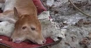 インドネシアの牛
