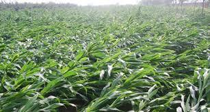 台風被害のトウモロコシ畑