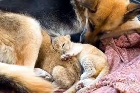 ライオンの赤ちゃんに授乳するJシェパード
