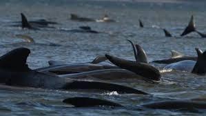 小型クジラ、250頭が浅瀬に
