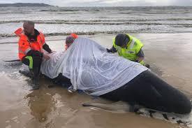 座礁したクジラのケアをする人