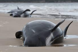 座礁して死んだクジラ