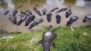 ワニの危険地帯フロリダ