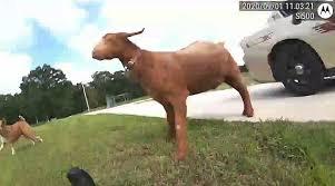パトカーに乱入したヤギ、書類を食べる