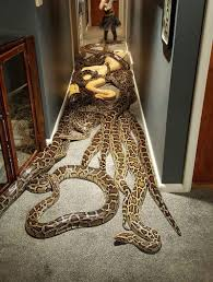20匹のヘビを自宅に放し飼い
