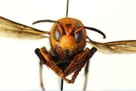 「殺人スズメバチ」