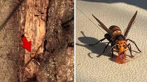 「殺人スズメバチ」の巣