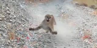 ユタ州のハイカーを襲う、クーガー