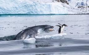 ヒョウアザラシのペンギン狩り