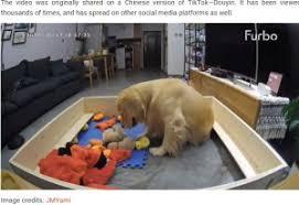 鳴き止まぬ子犬にお気に入りのおもちゃを運び続ける母犬