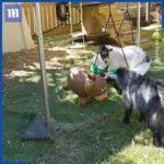 風船と戦うヤギのジュニア