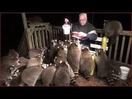 アライグマにまみれながら餌やりする男性