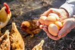 卵の中から殻付き卵がもう1つ出現