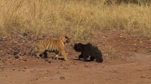 屈強なベンガルトラと闘うクマ