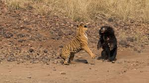 噛まれてもベンガルトラに挑むナマケグマ壮絶な闘い