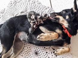 オポッサム7匹、ママ代わりのメス犬にしがみつく