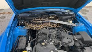 車のボンネットで3mのヘビを発見
