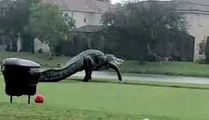 ゴルフ場に巨大ワニ出没