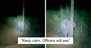 子ゾウがサトウキビを盗み食い