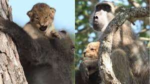 ヒョウの赤ちゃんに優しく毛づくろいをする野生ヒヒ