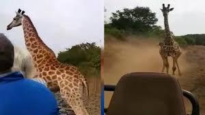 キリンが観光客の乗ったトラックに猛突進