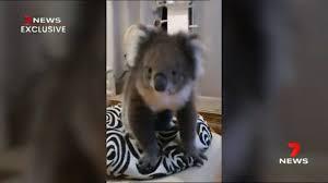 ドアをノックし民家に侵入したコアラ