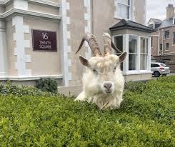ホテル内でエレベーターを待つ羊