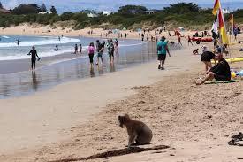 ビーチで海水浴を楽しむコアラ