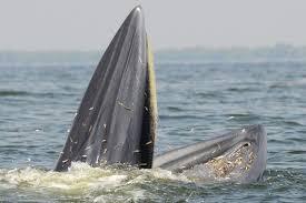 クジラが「立ち泳ぎ」しながら捕食
