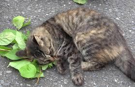 またたびの好きな猫