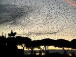 イタリアのローマで大量のムクドリ死亡