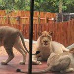 リードウッド・ビッグゲーム・エステートのライオン