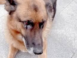 引退した警察犬がハンドラーと再会で大興奮