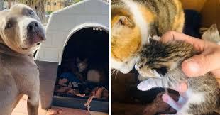 出産間近の猫を自分の小屋に招き入れたピットブル