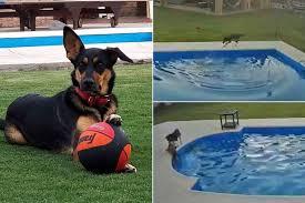 プールで溺れる盲目のピットブルを助けた仲良し犬