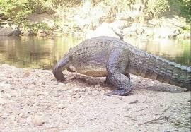 絶滅危惧シャムワニ、タイで目撃