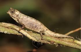 ブルックシアナナBrookesia nana
