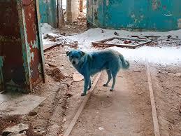 ロシアの工場跡をうろつく青く変色した犬の群れ