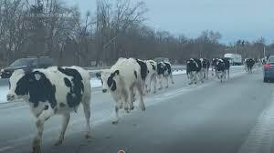 道路を走る牛たち