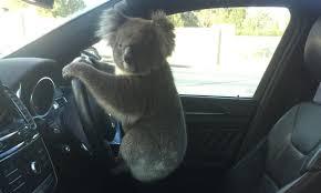 高速道路を横断したコアラ