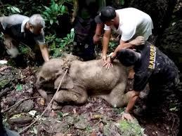 生後3週間の赤ちゃんゾウ、泥の中から救出。