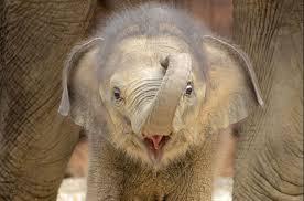 インドネシアの赤ちゃんゾウ